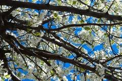 苹果计算机开花分支有蓝天的 图库摄影