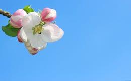 苹果计算机开花和芽在蓝天前面 免版税库存图片