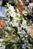 苹果计算机开花在天空的春天 库存图片