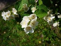 苹果计算机开花在春天 美好的自然在春天 库存照片