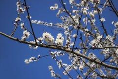 苹果计算机开花有蓝天背景,春天 图库摄影