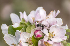 苹果计算机开花树弄糟蜂蜜收集花粉特写镜头makro的蜂花 图库摄影
