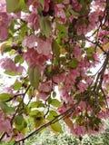 苹果计算机开花桃红色绿色春天果子开花的树 免版税图库摄影