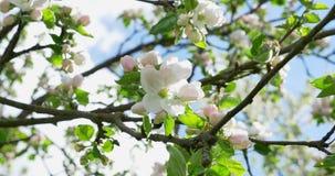 苹果计算机开花 在开花的果树园树的开花的白桃红色花,从事园艺