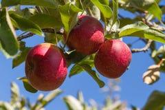 苹果计算机树的红色罗马 库存图片