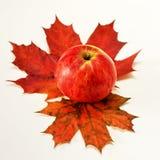 苹果计算机槭树 免版税图库摄影