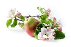苹果计算机花和成熟红色苹果 库存照片