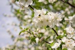 苹果计算机花是你好从春天! 库存照片