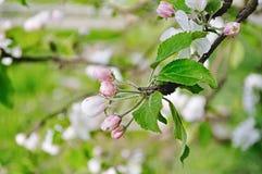 苹果计算机花蕾在春天开花在软的阳光-在软的淡色口气的天然泉花卉背景下 库存照片