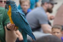 苹果计算机谷,明尼苏达- 2018年6月:与一位动物园管理员的一只鹦鹉在鸟展示期间 免版税库存图片