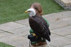 苹果计算机谷,明尼苏达- 2018年6月:有一只白头鹰的一位动物园管理员在鸟展示期间 库存图片