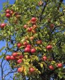 苹果详细资料结构树 库存图片