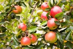 苹果详细资料结构树 免版税库存照片