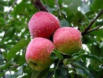 苹果降露新印度水多的山红色 库存图片