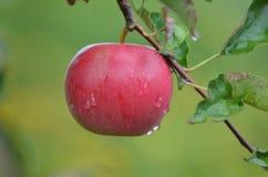 苹果水多的红色 库存照片
