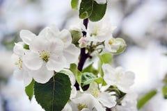 苹果绽放开花分行春天结构树 苹果开花的分行结构树 自然,春天,丝毫 库存照片
