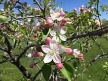 苹果绽放开花分行春天结构树 库存照片