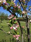 苹果绽放开花分行春天结构树 图库摄影