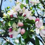 苹果绽放开花分行春天结构树 免版税图库摄影
