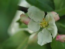 苹果绽放开花分行春天结构树 免版税库存照片