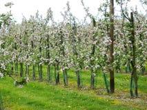 苹果仅有的充分的叶子一结构树 免版税图库摄影