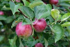 苹果仅有的充分的叶子一结构树 库存图片