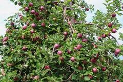 苹果仅有的充分的叶子一结构树 免版税库存照片
