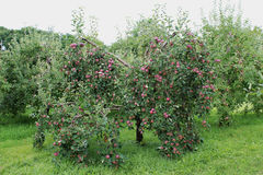 苹果仅有的充分的叶子一结构树 库存照片