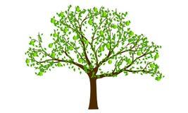 苹果绿的结构树 库存照片