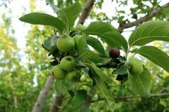 苹果绿的结构树 库存图片