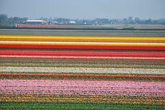 茂盛在荷兰的郁金香 图库摄影