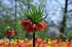 茂盛在荷兰的郁金香 库存照片