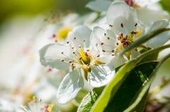 茂盛苹果树宏指令花  免版税库存照片