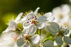 茂盛苹果树宏指令花  免版税库存图片