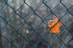 范围叶子槭树 免版税库存图片