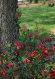范围忍冬属植物红色结构树 库存图片