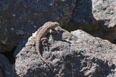 范围蜥蜴西部occidentalis的剌蜥蜴树 库存图片