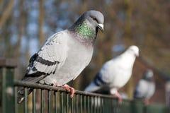 范围鸽子 免版税库存图片