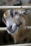 范围山羊凝视 库存图片