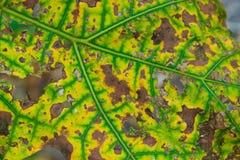 茄子叶子 图库摄影