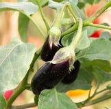 茄子在庭院里 免版税图库摄影