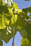 茄属betaceum 库存照片