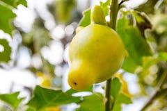 茄属mammosum植物 免版税图库摄影