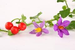 茄属trilobatum植物 库存照片