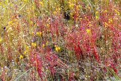 茅膏菜属植物印度和湿领域 免版税图库摄影