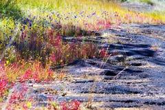 茅膏菜属植物印度Linn flowe湿石头 免版税库存照片
