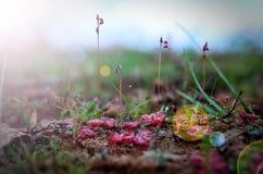 茅膏菜属植物承担一小飞行Sundew @Phu Pha Thoep国立公园的Burmannii 免版税库存图片