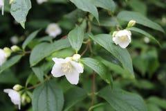 茉莉属,在灌木的茉莉花美丽的白花 图库摄影