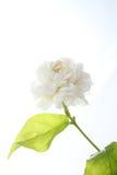 茉莉花、jasminum sambac、花和叶子,茉莉花在白色背景的茶花 免版税库存图片