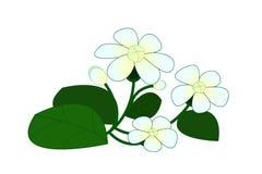 茉莉花充满活力与新鲜的叶子 库存照片